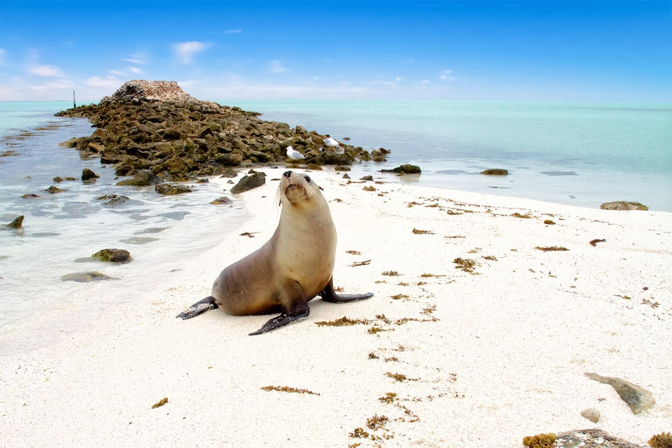 Seal on beach, Abrolhos Islands