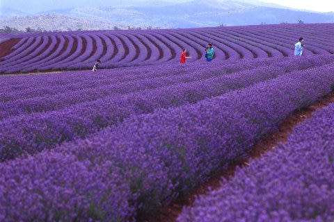 people standing in lavender fields