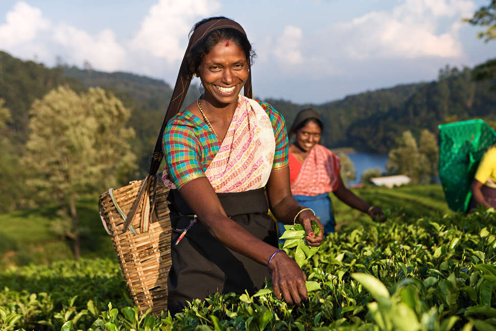 Tamil women plucking tea leaves near Nuwara Eliya, Sri Lanka ( Ceylon )