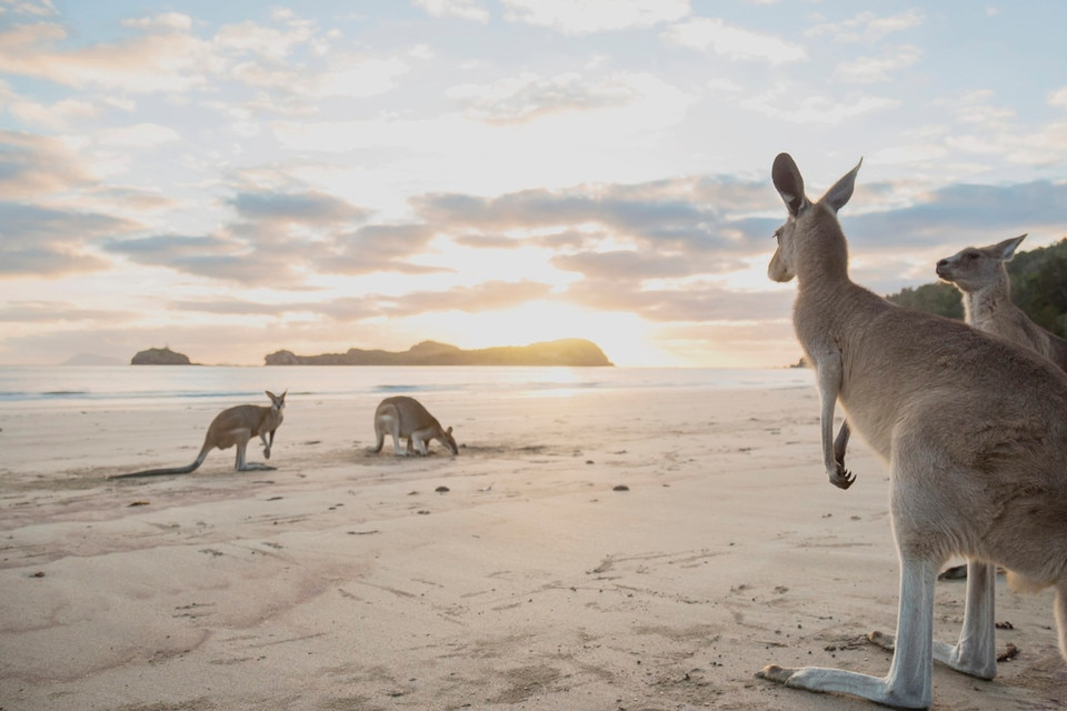 Kangaroos, Cape Hillsborough, Mackay, QLD