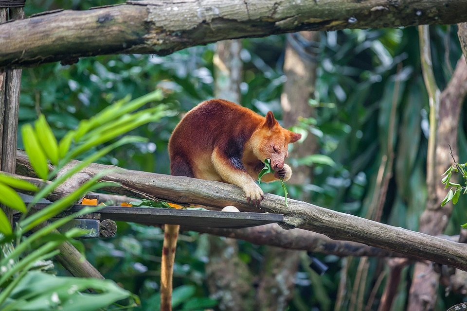 Tree kangaroo sitting on a tree branch and eating eucalipt leaf