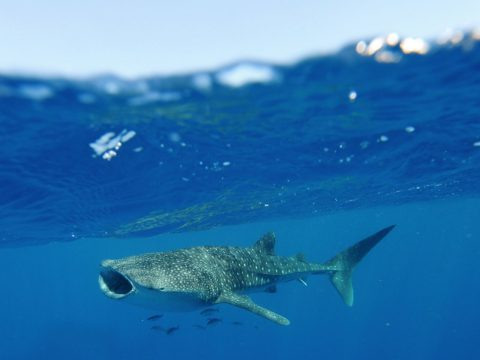 Swimming with whale sharks, Western Australia