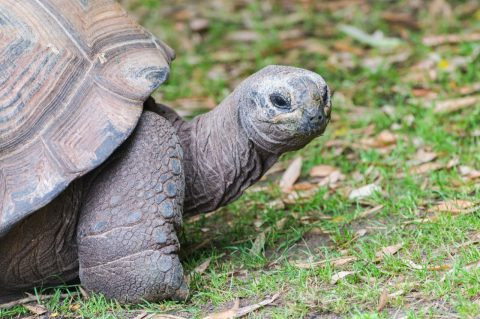 tortoise in the galapagos islands