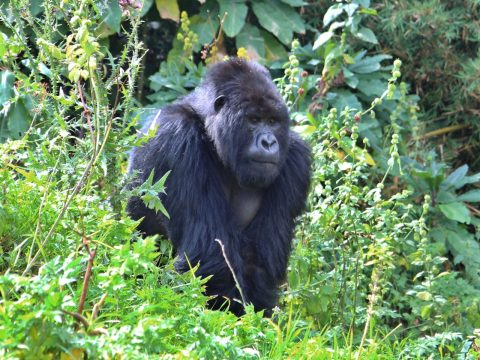 Going Ape – An Encounter with Rwanda's Gorillas