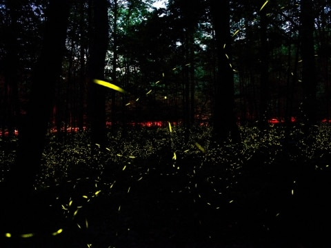 Synchronous firefly mating ritual, USA