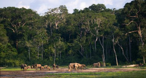 elephants, The Republic of the Congo, Central West Africa