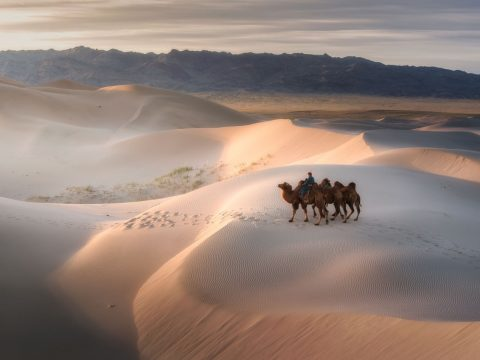 mongolia-camels