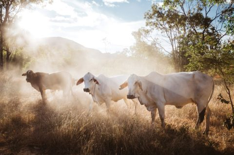 Mount Mulligan lodge's Brahman cattle, northern Queensland