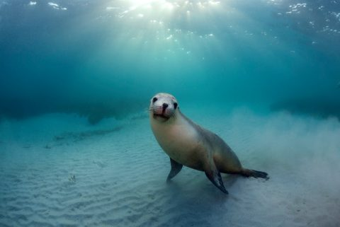 Sea lion, South Australia