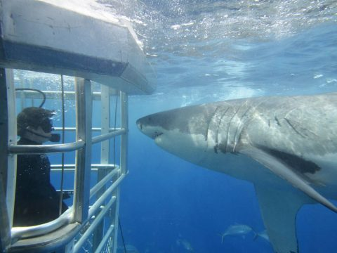Encounter Great White Sharks in South Australia's Eyre Peninsula
