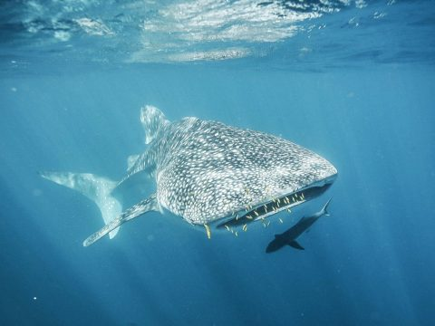 Swim with Whale Sharks in Ningaloo Reef Western Australia