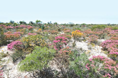 Wildflowers at Kalbarri National Park