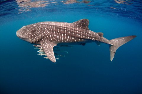 Whale shark on Ningaloo Reef