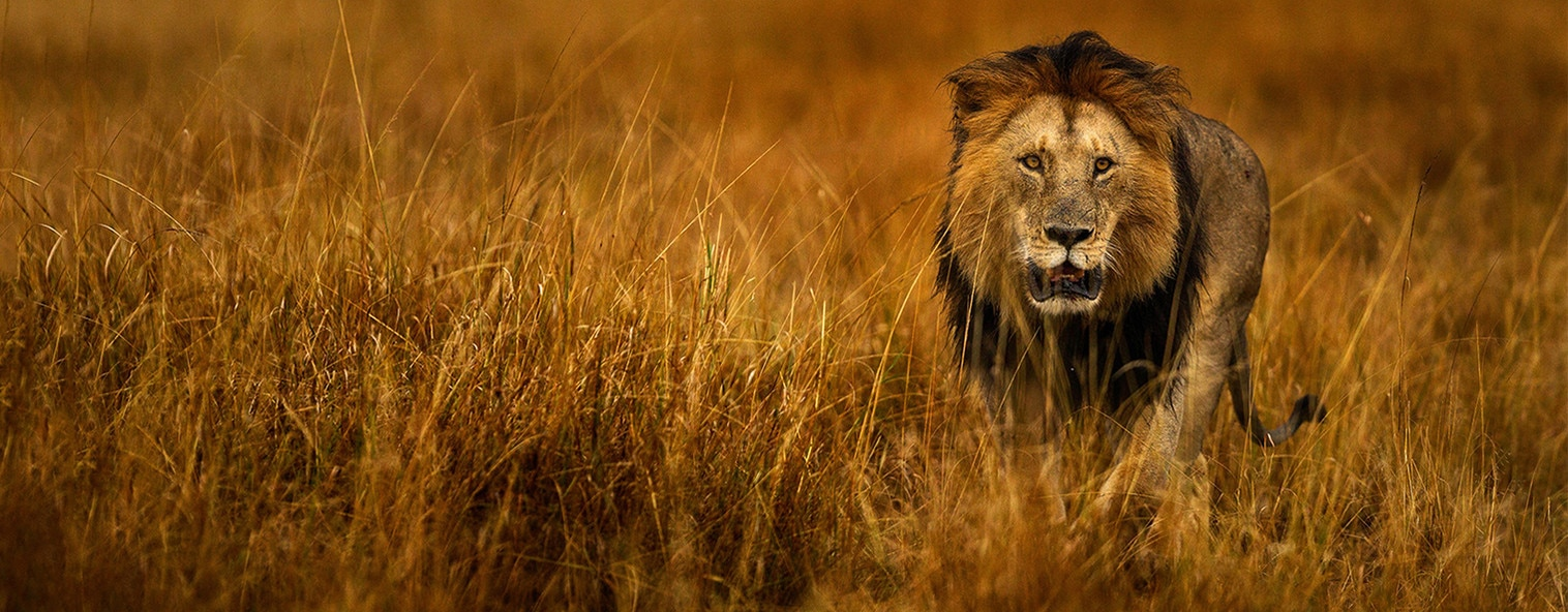 Lion in Africa hunting