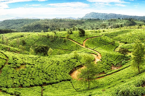 Sri Lanka tea fields