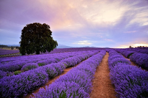 Bridestowe Lavender Estate, Tasmania