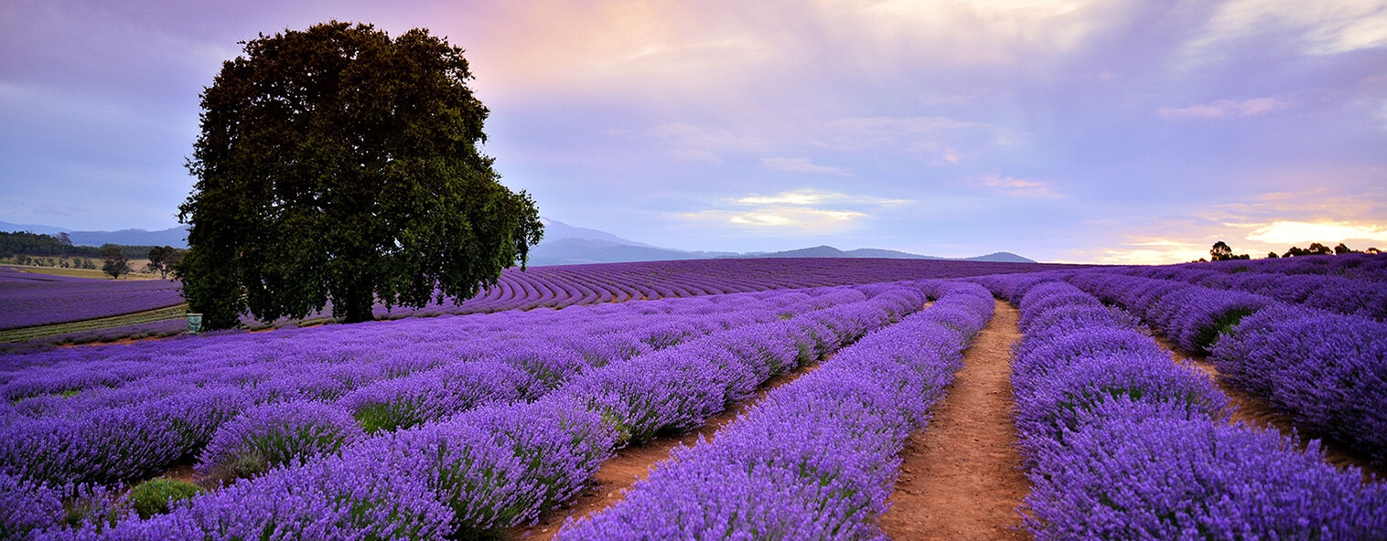 Lavender field in Launceston