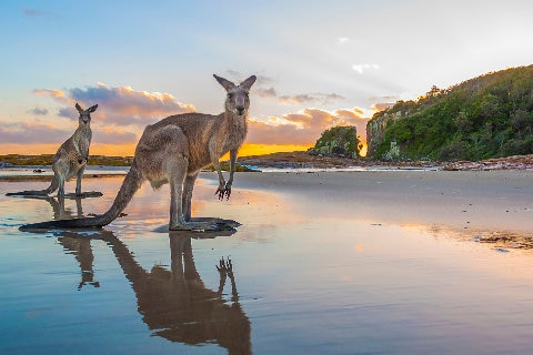 Kangeroos on beach at sunset