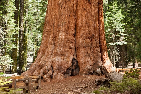 Giant Sequoia tree base